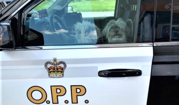 OPP nab two 'fugitive' Shih Tzus in Lively