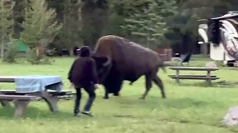 Woman gored after getting to close to Buffalo