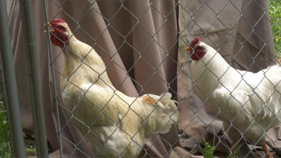 Emotional support roosters
