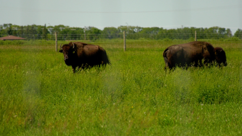 Mark Pastoor and his wife, Diane, have been searching for their livestock. (Nicole Di Donato/CTV Saskatoon)