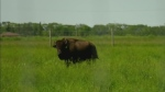 Bison ranchers had their fence cut.
