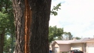 A tree in northeast Regina was split down the middle after it was hit by a lightning-bolt during a thunderstorm on Friday night. (Donovan Maess/CTV News Regina)