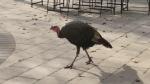 Talking turkey in a Waterloo neighbourhood