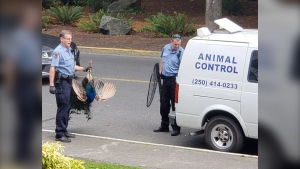 Animal control officers captured and relocated the peacock once, but he came back within a few hours. He has since been relocated again. (Photo: Susan Simmons)