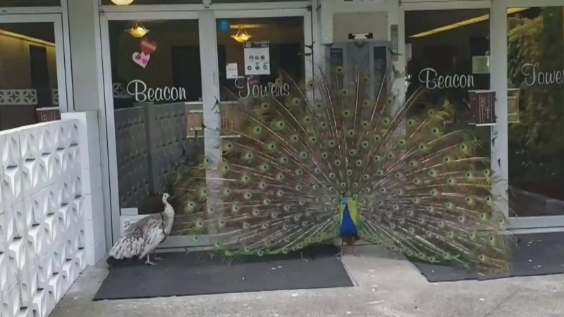 Stubborn peacock relocated in Victoria