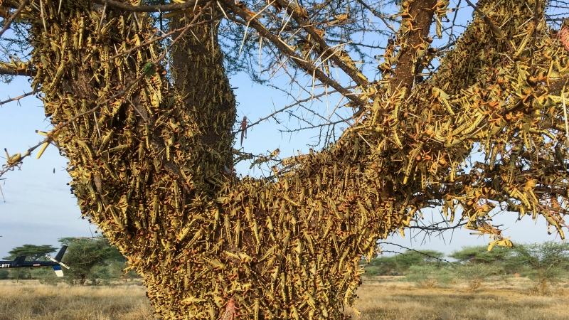 Locusts swarm on a tree south of Lodwar town in Turkana county, northern Kenya Tuesday, June 23, 2020. (AP Photo/Boris Polo)