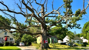 The Big Oak Tree in Lambeth has stood for hundreds of years, but in the fall of 2020 it will come down for good. (CTV London / Celine Zadorsky)