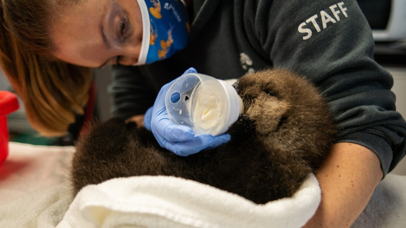 The male pup, who is estimated to be about 10 days old can be seen in this handout photo provided by the Ocean Wise Marine Mammal Rescue Centre in Vancouver.