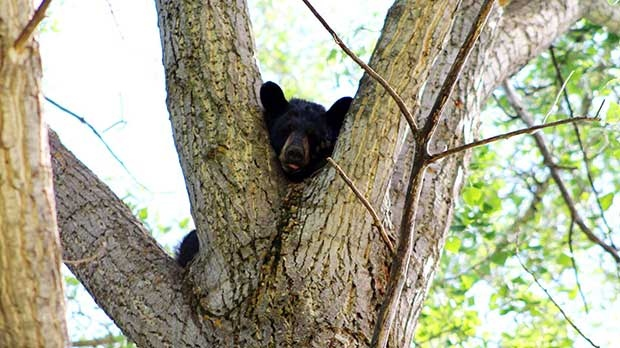 Black bear in tree taking his afternoon nap. Photo by Elmer Voelpel.