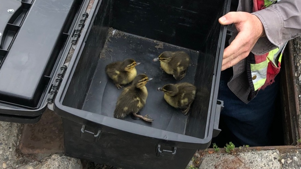 Calgary ducklings rescued