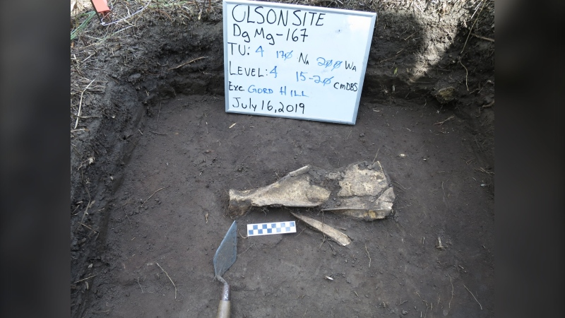 A deer scapula modified to be a gardening tool is pictured at a dig site in Manitoba (Source: Gord Hill)