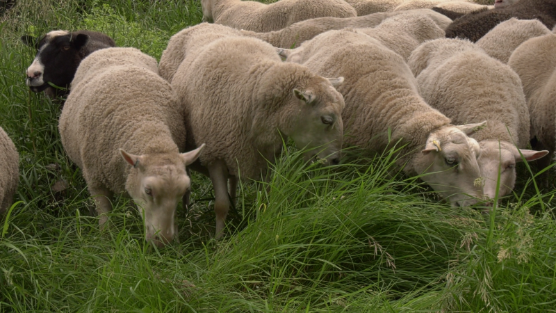 A flock of 50 sheep have been grazing down the grass in Fort Sasktachewan city parks for nearly three decades. July 7, 2020. (CTV News Edmonton)