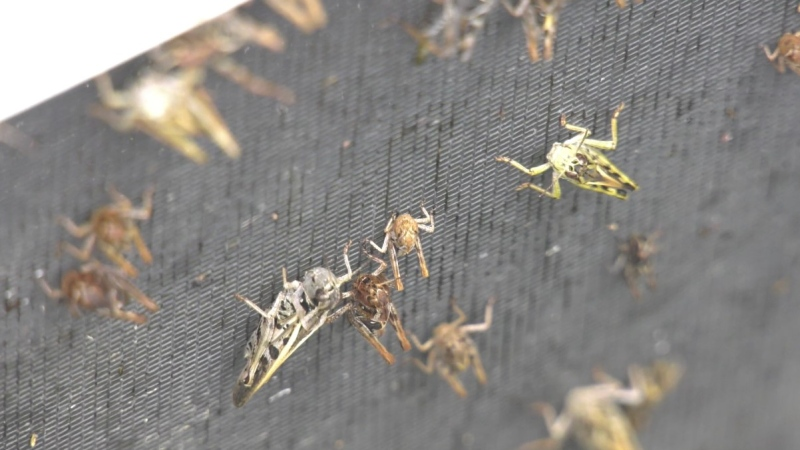 A grasshopper infestation is disrupting properties near Fairy Hill, SK.