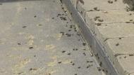 Grasshoppers take over farm north of Regina
