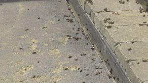 Grasshoppers take over farm north of Regina