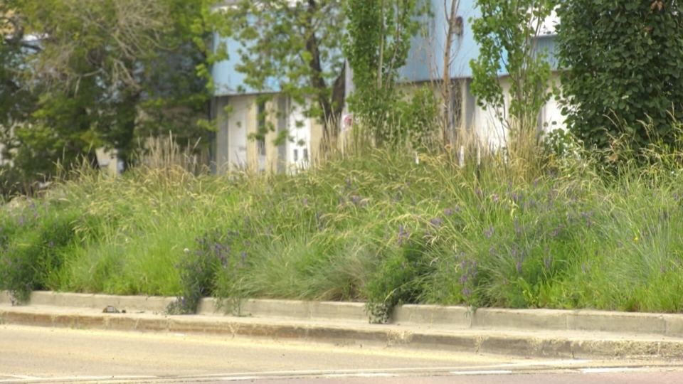 City council is exploring an option to replace grass in green spaces and boulevards with flora that requires less maintenance. Tuesday July 7, 2020 (Jeremy Thompson/CTV News Edmonton)