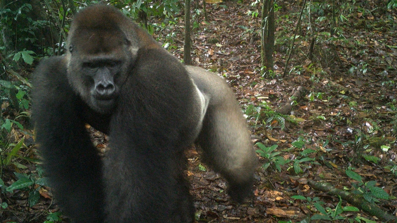 This photo taken by a camera trap shows a Cross River gorilla in the Mbe Mountains of Nigeria on Monday, June 22, 2020. (WCS Nigeria via AP)