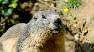 Marmots are believed to be one of the main vectors for spreading bubonic plague in Mongolia. (AFP)