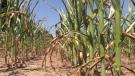 Corn stalks in need of rain are seen near Clinton, Ont. on Wednesday, July 8, 2020. (Scott Miller / CTV London)
