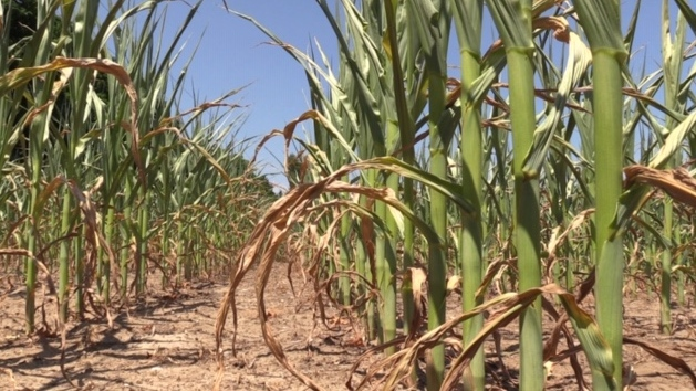 Corn stalks in need of rain are seen near Clinton, Ont. on Wednesday, July 8, 2020. (Scott Miller / CTV London)