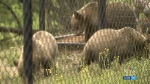 Grizzly cubs moved from Calgary to Vancouver