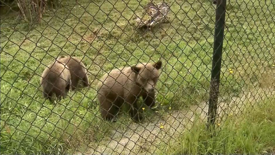 The Greater Vancouver Zoo introduces three grizzly bear cubs that were orphaned when their mother was shot by hunters in Alberta.