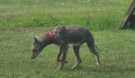 Residents in Elliot Lake are concerned about this coyote who has mange and is roaming the streets. (Supplied)