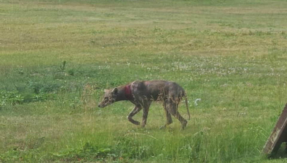 Residents in Elliot Lake are concerned about a coyote with mange roaming the streets.