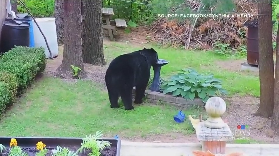 Cynthia A. Henry was able to capture video of a large black bear in the backyard of her Greenwood, N.S. home. (Source: Cynthia A. Henry/Facebook)