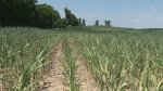 Stretch of hot, dry weather killing some crops