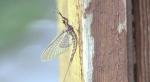 Shad fly in North Bay. Jul. 8/20 (Eric Taschner/CTV Northern Ontario)