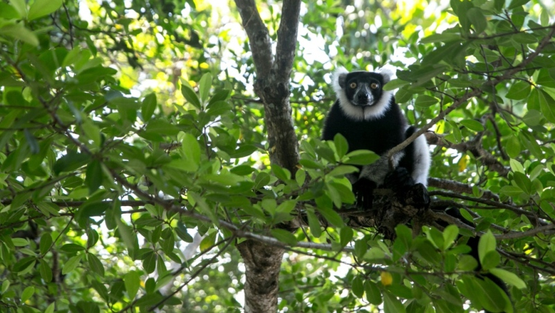 Lemurs are hunted for food and the illegal pet trade, while their forests are destroyed. (AFP)
