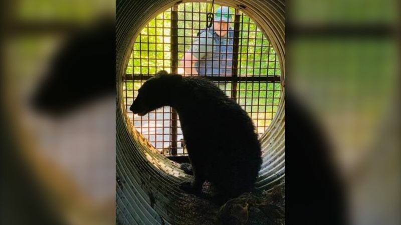 Conservation officers from the National Capital Commission trapped a bear at Mud Lake on Thursday. (National Capital Commission)