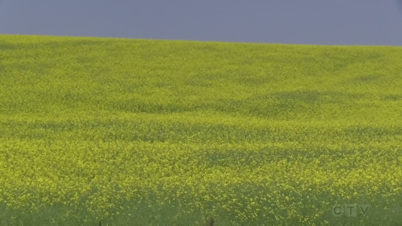 Fields to Forks: Beauty of canola crops
