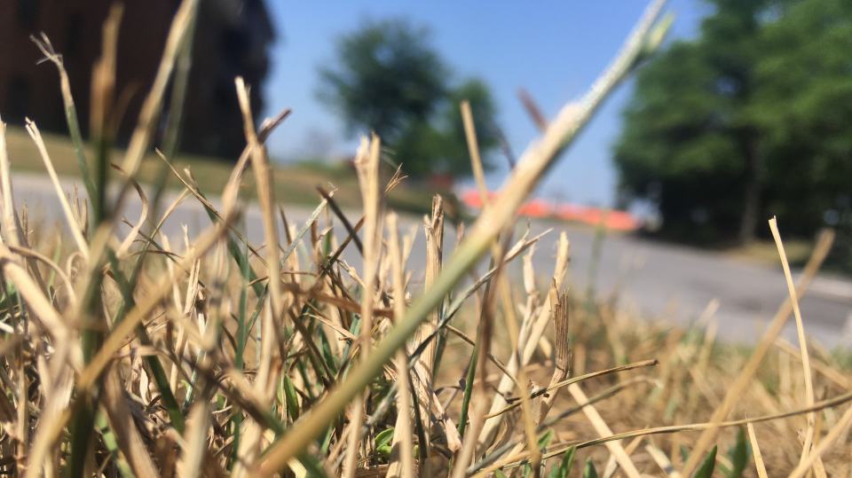 Dry grass in Ottawa during heat wave