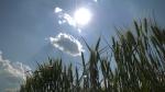 Markus Haerle's wheat field in St. Isidore, Ont. bakes in the sun. (Nate Vandermeer/CTV News Ottawa)