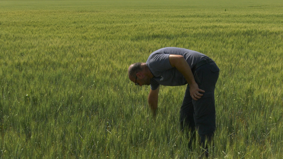 Markus Haerle checks his wheat. (Nate Vandermeer/CTV News Ottawa)
