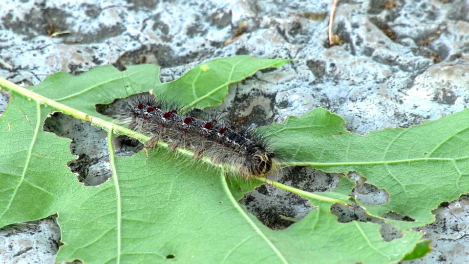 A caterpillar of the Gypsy moth is seen on a leaf in Tiny Township, Ont., on Fri., July 10, 2020. (Roger Klein/CTV News)