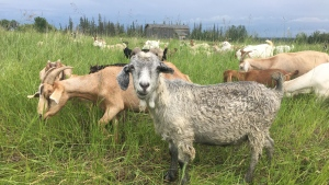 Penner Goats & Custom Grazing, based in Mallaig, Alta., hopes to get a grass-grazing contract at 4 Cold Lake Wing from the Department of National Defence.