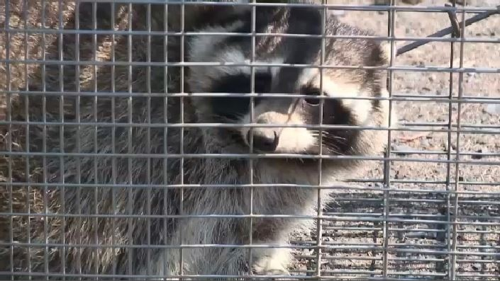 A baby raccoon tested positive for rabies in Charlotte County. It happened last weekend in the Tower Hill area which is about 17 kilometres northeast of St. Stephen.