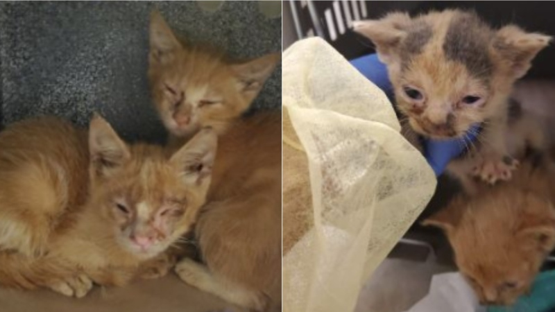 Toronto Cat Rescue says 150 cats have been found in a home in the city. (Toronto Cat Rescue handout)