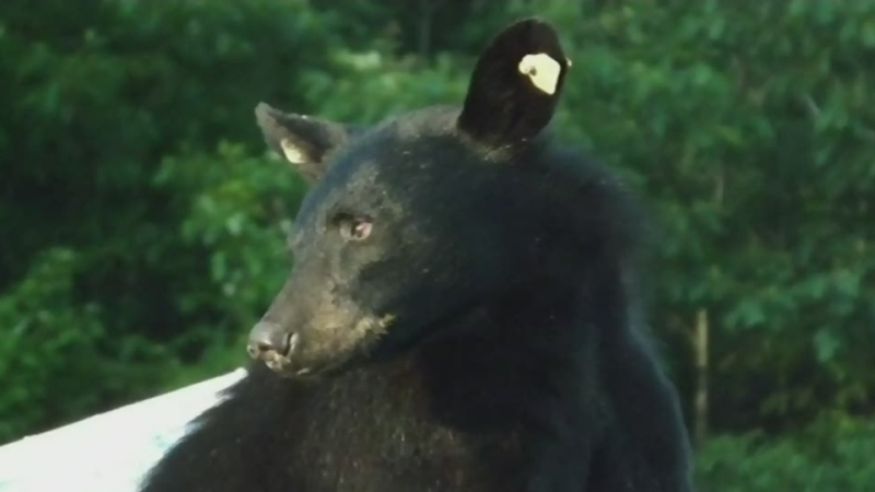 As northerners take to social media to alert their neighbours to bears wandering the streets,CTV's Lydia Chubak gets an update from the MNRF
