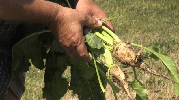 The rain on Friday, July 10 helped crops during the hot temperatures (Jordyn Read / CTV News)
