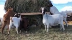 CTV National News: Army recruiting goats in Alta.