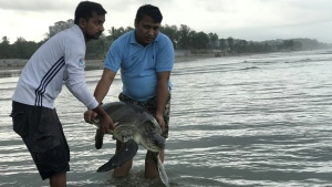 A rescued turtle is released back into the sea at Cox's Bazar, Bangladesh. (AFP)