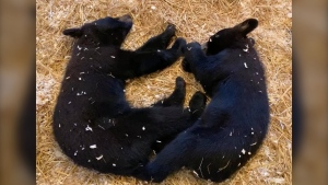 The two rescued cubs. (Source: Black Bear Rescue Manitoba/Facebook)