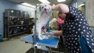 Owner Daiana Goldberger grooms a dog at You Lucky Dog Grooming during the COVID-19 pandemic in Mississauga on Tuesday, May 19, 2020. The Ontario government is allowing some services to reopen as part of phase one. THE CANADIAN PRESS/Nathan Denette