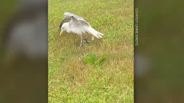 Carrie Surette and Allen Jefferson worked together to help a seagull with wire wrapped around both of its legs. (Courtesy: Carrie Surette)