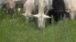 Sheep returning as museum groundskeepers