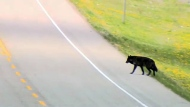 A second wolf in Banff was euthanized by park officers.